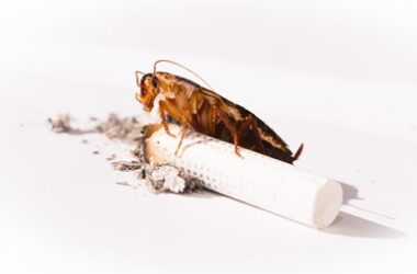 are cockroaches attracted to cigarettes?