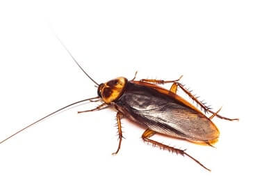 are there bugs that resemble cockroaches?