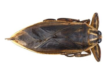 are water bugs the same as cockroaches?