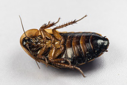 are wood roaches the same as cockroaches?