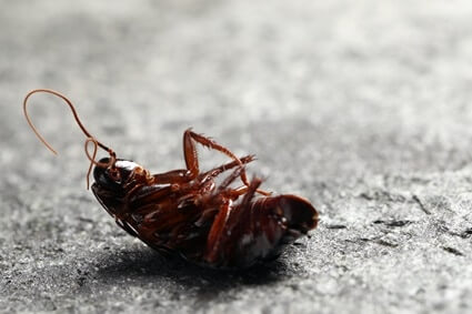 at what temperature will cockroaches die?