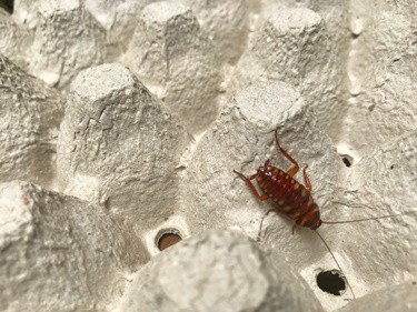 brown-banded cockroach facts