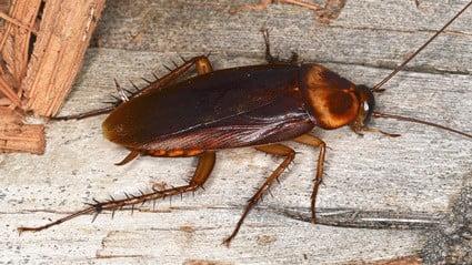 can cockroaches regrow limbs?