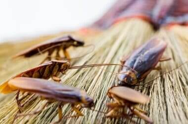 can cockroaches regrow their heads?