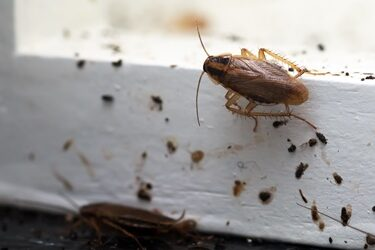 can cockroaches talk to each other?