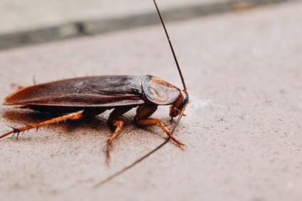 cockroach defense mechanism
