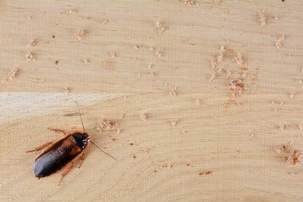 cockroach flatulence