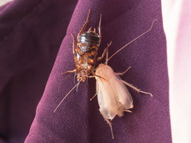cockroach malting stages