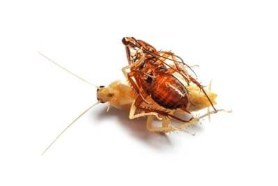 cockroach shedding exoskeleton