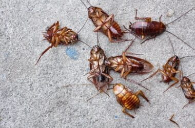 do cockroaches cannibalize?