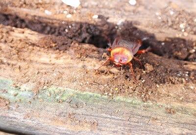do cockroaches damage wood?