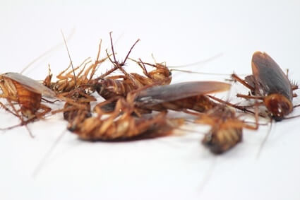 do cockroaches eat one another?