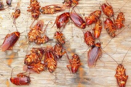 do cockroaches eat their dead?