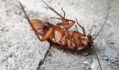 do cockroaches feel physical pain?