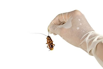 do cockroaches have pain receptors?