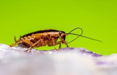 do cockroaches smell like urine?