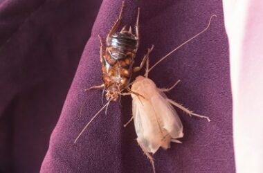 do cockroaches turn white?