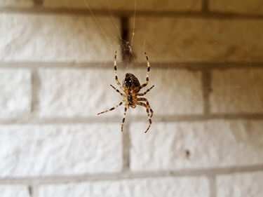 do house spiders eat cockroaches?