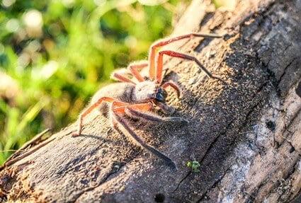 do huntsman spiders eat cockroaches?