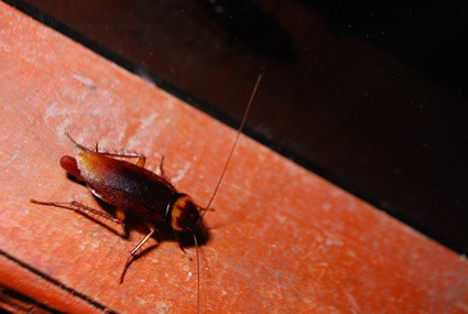 how big is a cockroaches' brain?