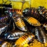 how does hissing benefit the cockroach?