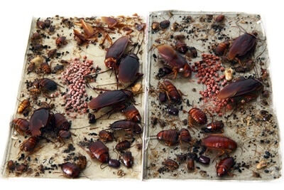 how effective are cockroach traps?