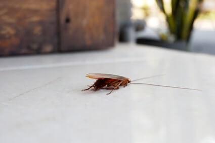how far can cockroaches jump?