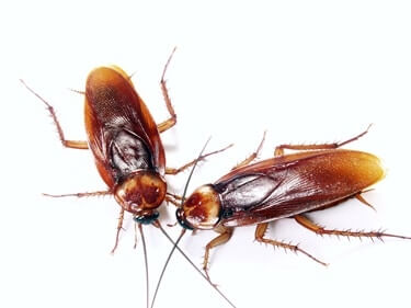 how many legs do cockroaches have in total?