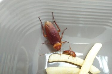 how often do cockroaches clean themselves?