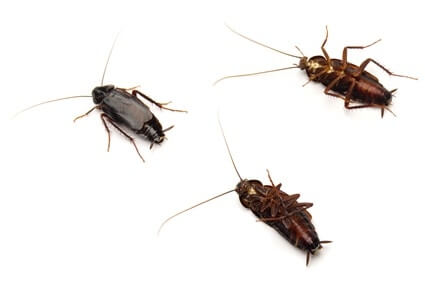 how to identify oriental cockroaches