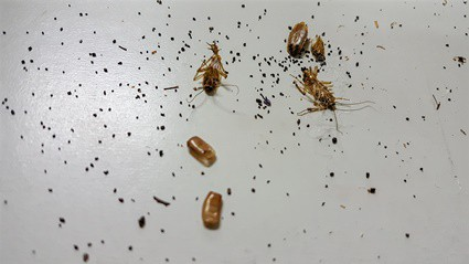 is cockroach poop hard or soft?