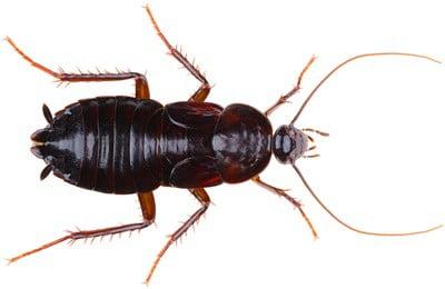 oriental cockroach facts