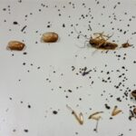 what do cockroach droppings look like?