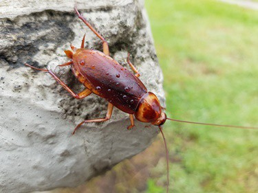 what do cockroaches use their antennae for?
