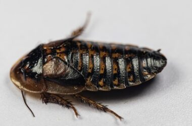 what's the difference between cockroaches and wood roaches?