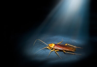 why are cockroaches nocturnal?