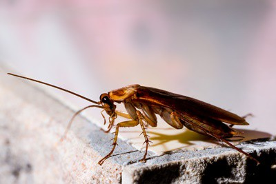 why do cockroaches fly?