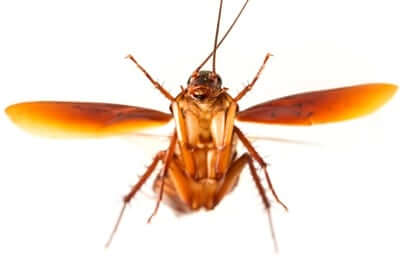 why do cockroaches have wings?