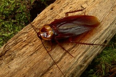 why do cockroaches make noise like a cricket?