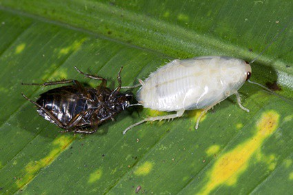 why do cockroaches shed their skin?