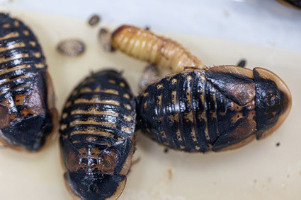 wood roaches vs cockroaches