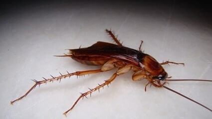 wood roaches vs. cockroaches