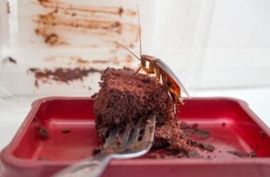 does chocolate have cockroaches in it?