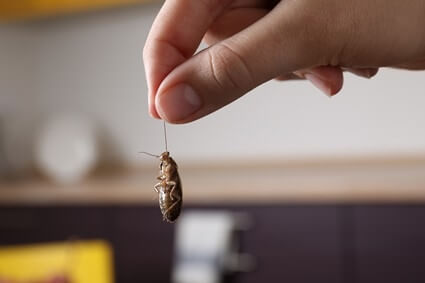 can cockroaches lay eggs in your hair?