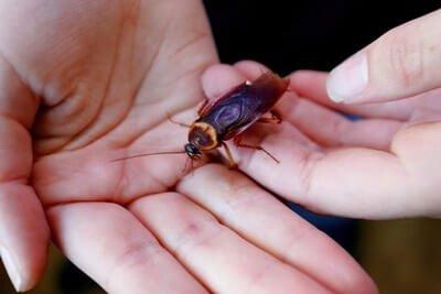 do cockroaches eat human hair?