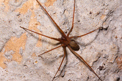 Do Brown Recluse Spiders Eat Cockroaches?