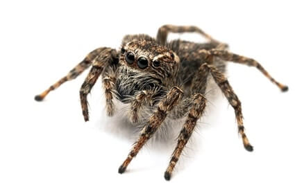 Do Jumping Spiders Eat Cockroaches?