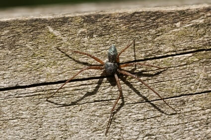 Do Running Spiders Eat Cockroaches?