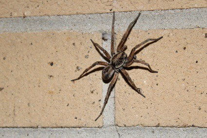 Do Wolf Spiders Eat Cockroaches?