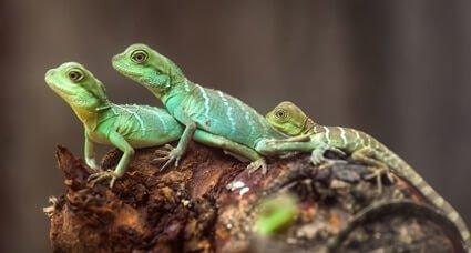 do lizards eat cockroaches?
